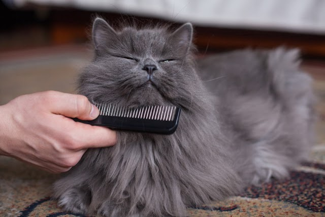 Should You Ever Shave a Cat?