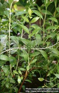 gambar daun inai (lawsonia inermis)