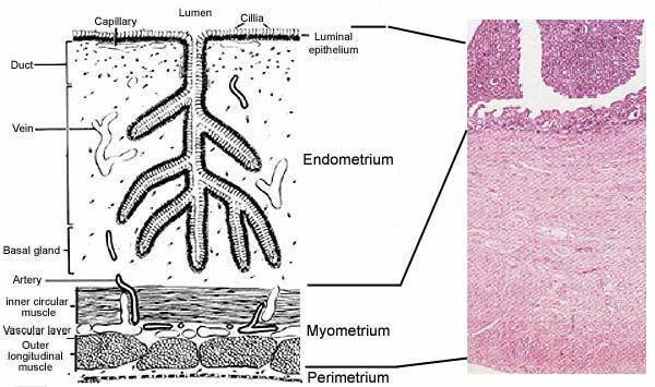 the uterus anatomy