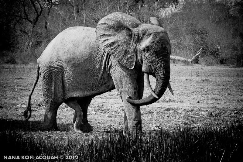 Elephant having an erection