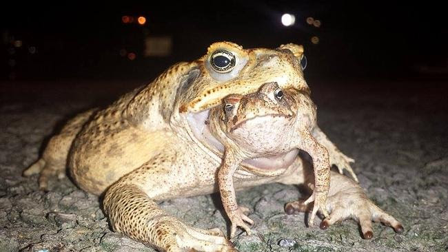 NT News reader Scott Murray captured this monstrous cane toad eating another cane toad ea