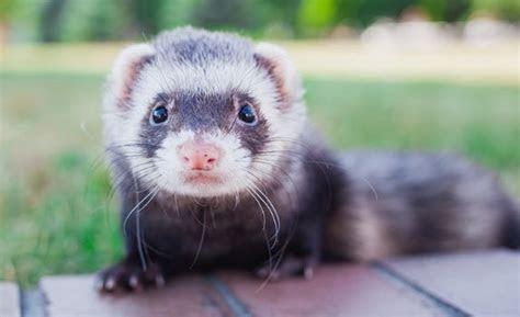 ferrets eat cat food pets care