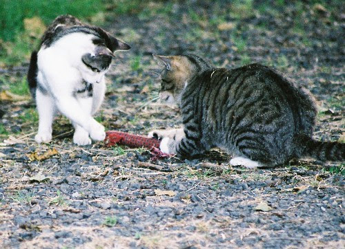 Feral Cats At Play, the Return of Snakey Mouse