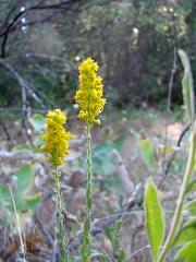 california goldenrod - solidago californica