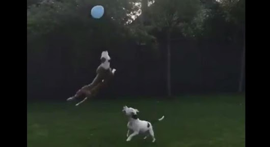 Here Are Two Joyful Pit Bulls Trying To Catch A Balloon To Help Get You Through Monday
