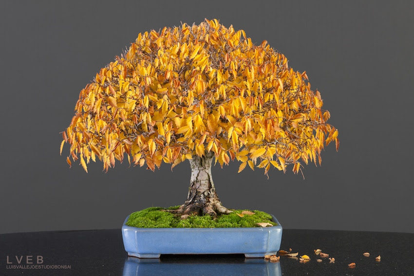 Zelkova serrata Bonsai tree