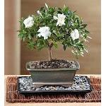 1-800 Flowers Comforting Gardenia Bonsai Plant