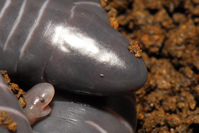 Filhote da cecília (_Siphonops annulatus_) come a pele da mãe