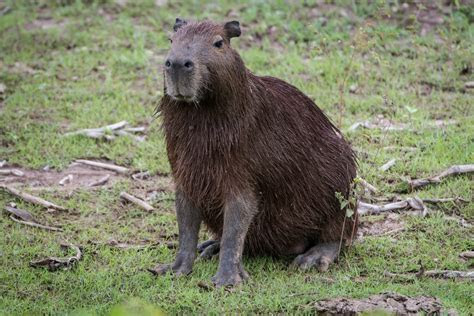 World's Largest Rodent, The Capybara, Invades Florida   Here & Now