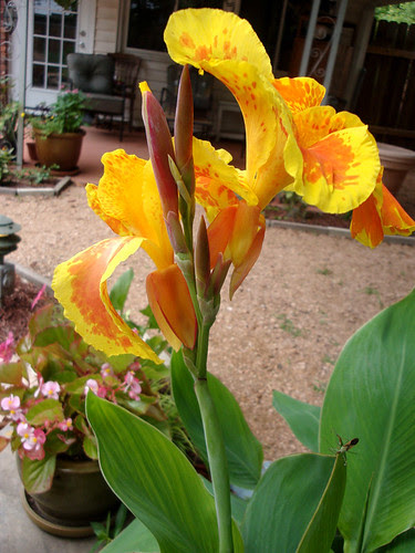 cannas_yelloworange