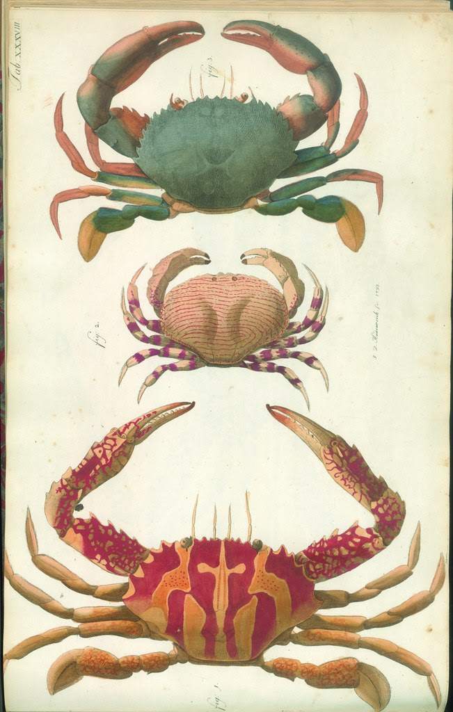 hand-coloured engravings of crabs