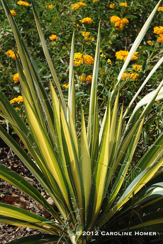 'Bright Edge' yucca and 'Pot o' Gold' lantana