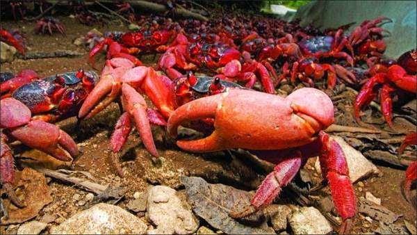 Красные крабы, пальмовые воры, фото членистоногие фотография
