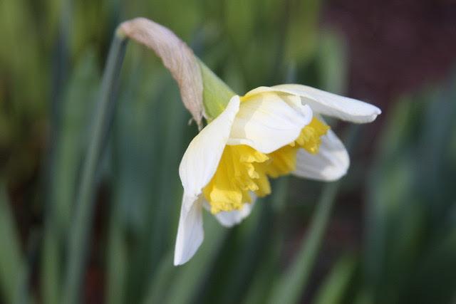 daffodil, sw 1st & salmon