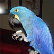 Home raised and hand-fed Hyacinth Macaw Pair available now.