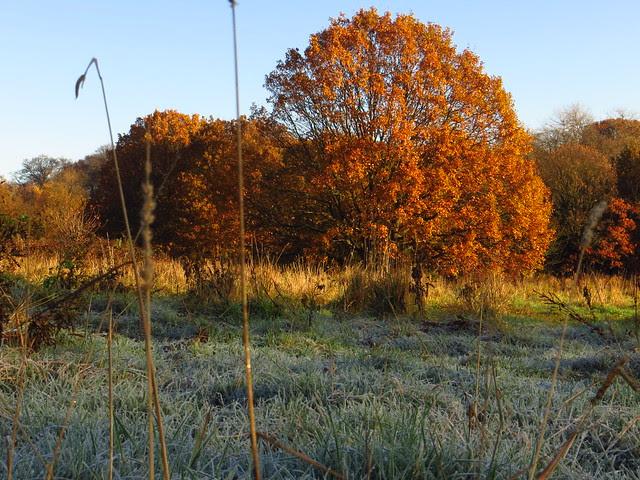 Oak Tree on Pryors Field