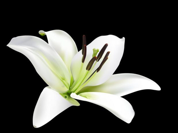Lily Flower Information Produces In Wide Range Of Shape Colors Sizes