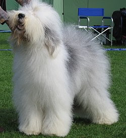 Old English Sheepdog Famous Large Breed Dogs