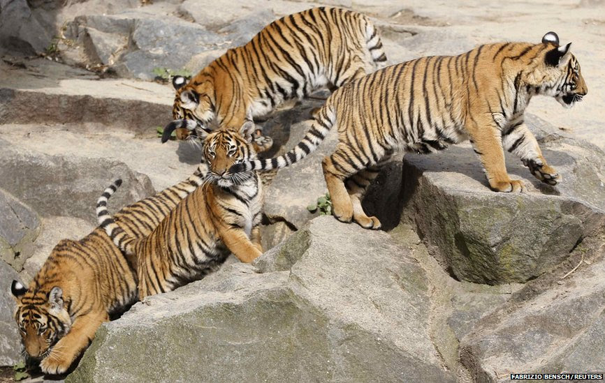 Tiger cubs play in a zoo