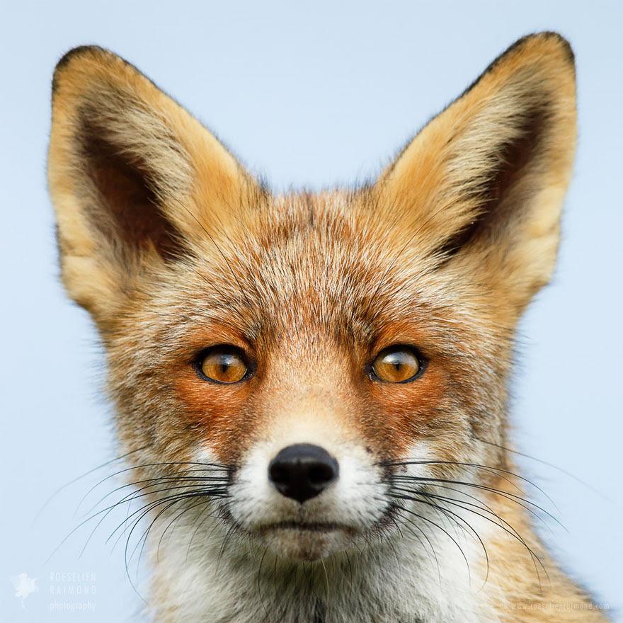 fox-faces-roeselien-raimond-ears