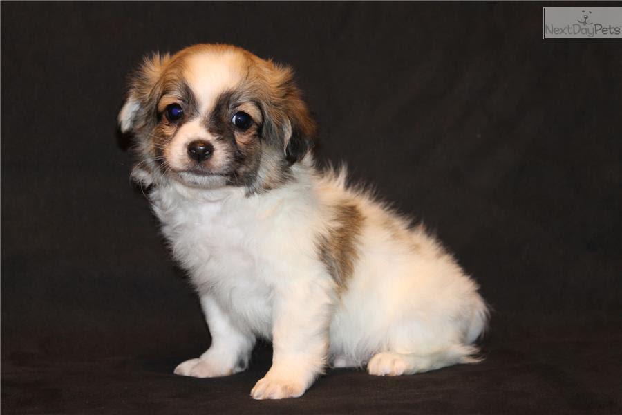 Havamalt puppy for sale near India