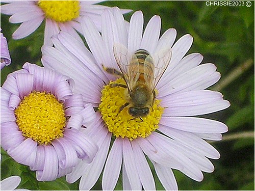 Bee by Chrissie2003