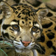 Help Save the Clouded Leopard - The Petition Site
