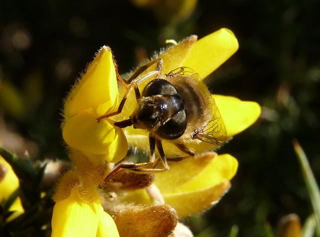 25593 - Bee, Dryslwyn