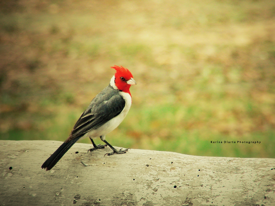 Cardenal / Red-crested Cardinal