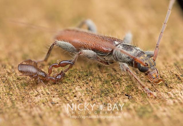 Pseudoscorpion clinging onto Longhorn Beetle (Cerambycidae) - DSC_3041