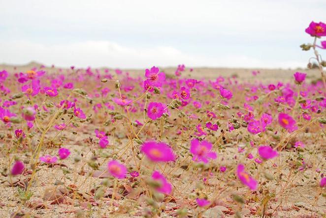 Arquivo: Desierto florido 2010.jpg