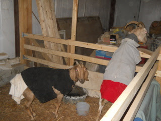 Cold Goats in Barn Animal Stall