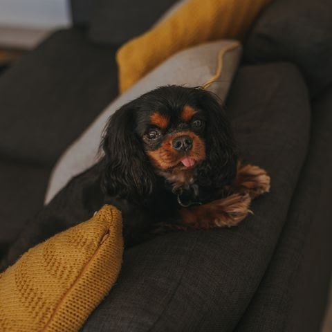 Trends For Couch Potato Dogs Akc images