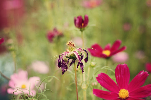 50mm cosmos wilted