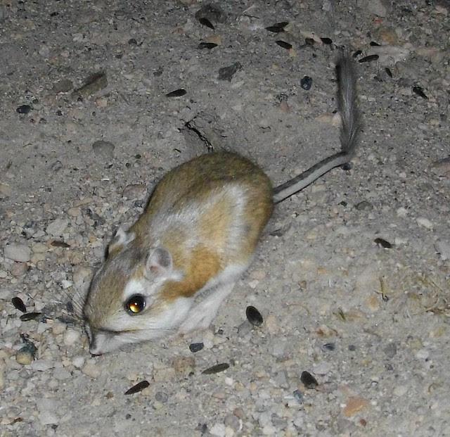 k-rat