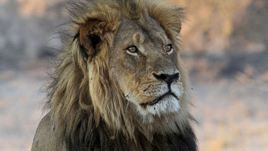 Trump admin. began accepting permits to import lion trophies last month