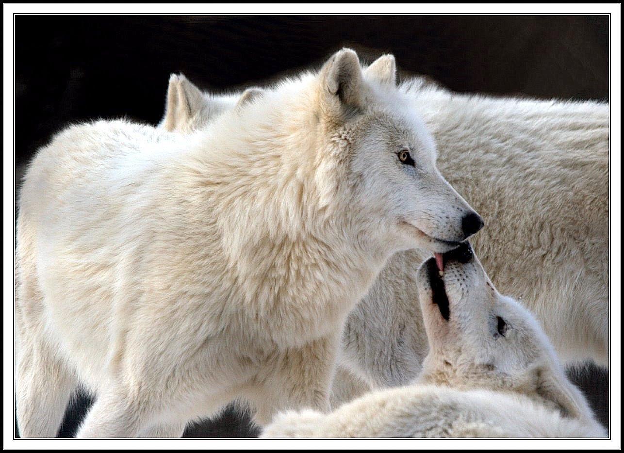 http://images2.fanpop.com/images/photos/7000000/wolf-wolves-7065445-1286-934.jpg