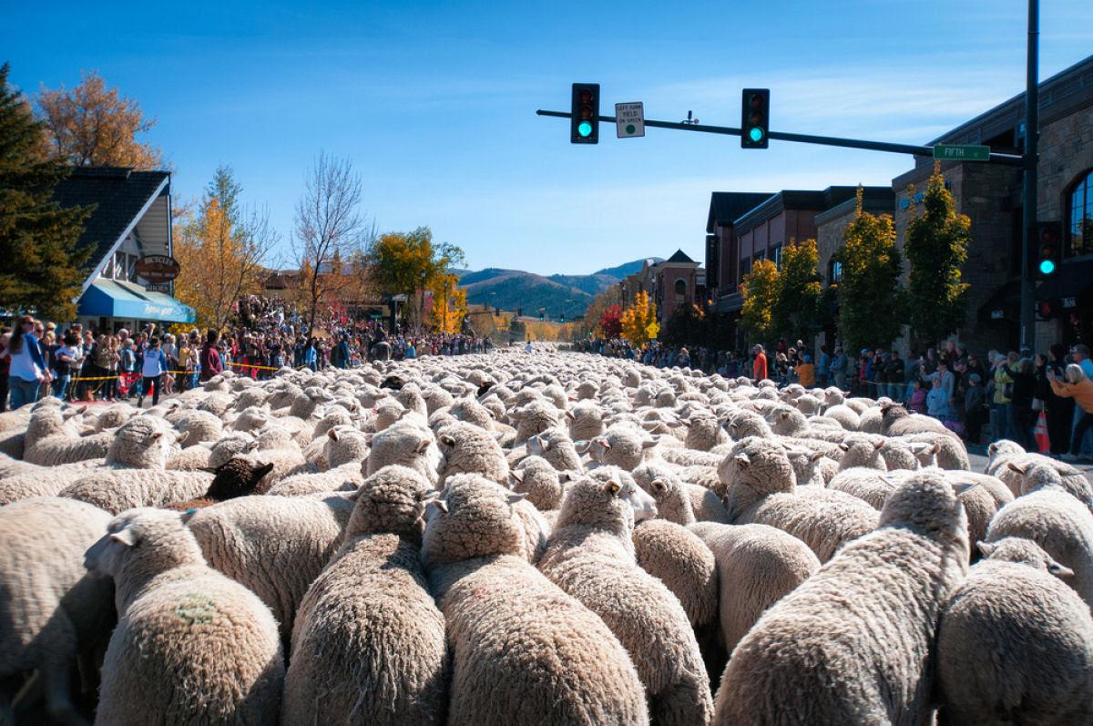 Conheça o Festival de Arrasto de Ovelhas 01