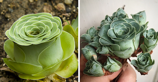 Rose Succulents Are A Thing And They Look Straight Out Of A Fairytale