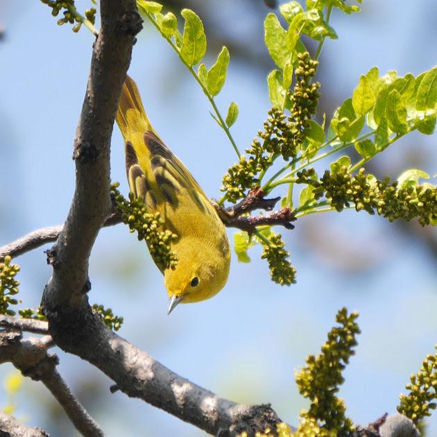 Ed Gaillard: birds &emdash; Yellow Warbler, Central Park