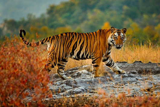 Bengal Tiger - Art Wolfe Store