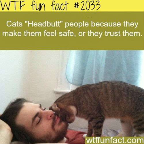 "Why Cats ""Headbutt"" people - WTF fun facts @Sarah Chintomby Chintomby Chintomby Nurnberger"