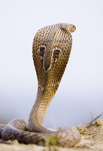 Cobra's Hisssss.... My Camera's First Love... by Captain Suresh
