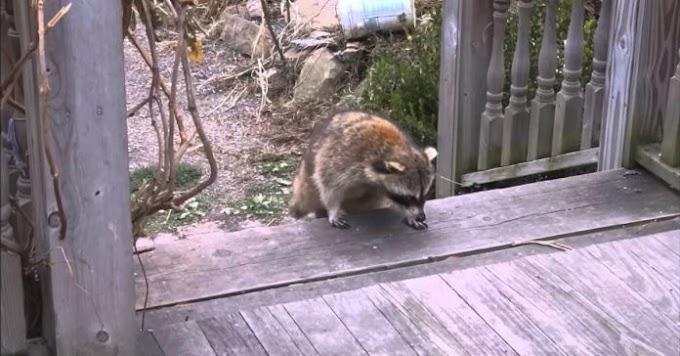 Mapache ciego salva a 2 gatitos y los lleva a su casa, días después los mininos regresan solos
