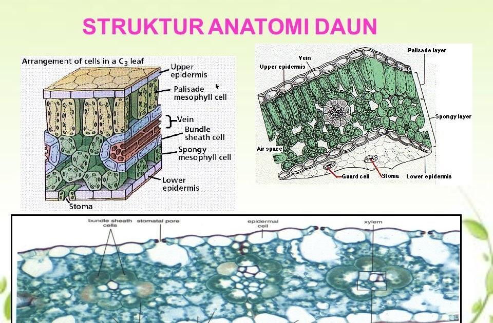 Perbedaan Struktur Daun Dikotil Dan Monokotil - Berbagai ...