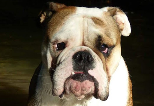 Do Dogs Get Jealous? Does Your Bulldog Feel Jealousy? - BulldogGuide.com