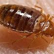 Bed Bugs Bite in Landlord-Tenant Dispute | Lawyer.com