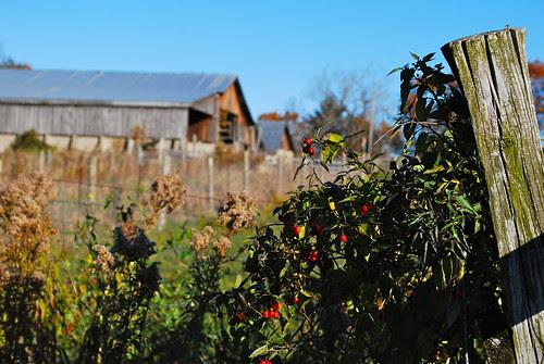 Wandering through the barnyard