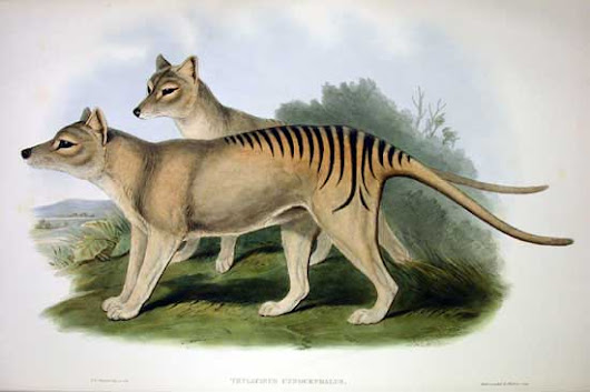 The Tasmanian tiger had a brain structure suited to a predatory life style