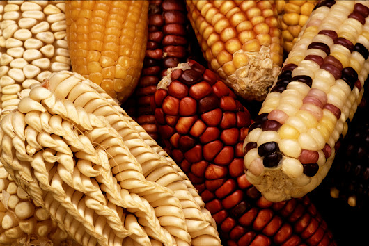 Detailed new 'reference' genome for maize shows the plant has deep...